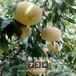 兩年的永蓮一號桃樹苗每天報價