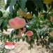 重慶黑桃桃樹苗價格及報價