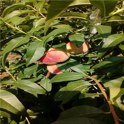 新品種桃苗富島紅桃樹苗品種特點介紹