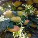 皇貴妃油桃苗兩年生的皇貴妃油桃苗出售價格