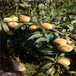高度一米以上秋彤桃樹苗每天報價