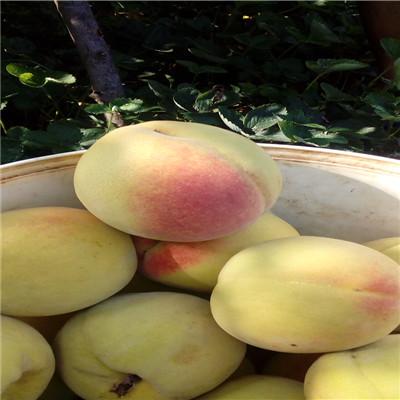 山東桃苗基地夏麗桃樹苗市場報價