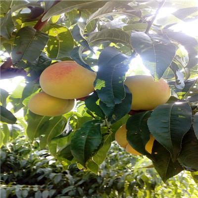 秋雪桃樹苗新品種桃苗秋雪桃樹苗一棵價錢