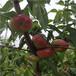 白桃桃樹苗兩年生的白桃桃樹苗品種特點介紹