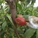 新品種桃苗黃金脆桃樹苗批發價格