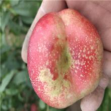 三公分结果锦绣黄桃桃树苗每天报价图片