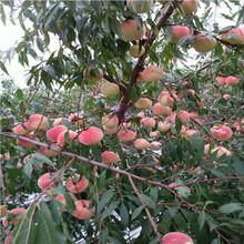 云南兩年生的早熟品種桃樹苗品種特點介紹圖片