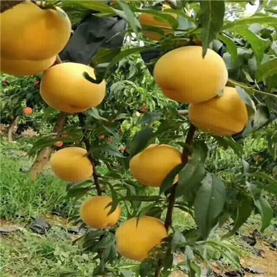 玉妃桃树苗价格及报价高度一米以上玉妃桃树苗价格及报价
