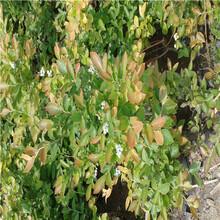 钱德勒蓝莓苗批发价格山东蓝莓苗基地钱德勒蓝莓苗批发价格图片