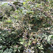 钱德勒蓝莓苗价格及报价山东蓝莓苗基地钱德勒蓝莓苗价格及报价图片