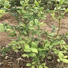 南高叢藍莓苗價格高度50公分以上南高叢藍莓苗價格圖片