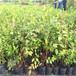 地栽三年瑞卡藍莓苗批發基地