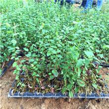 杜克藍莓苗批發價格占地大藍莓杜克藍莓苗批發價格圖片