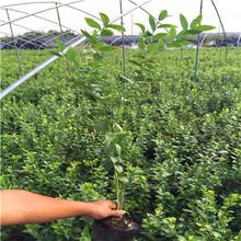 两年生绿宝石蓝莓苗批发价格图片