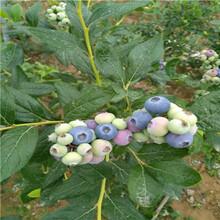 新品种蓝莓苗蓝丰蓝莓苗哪里便宜图片