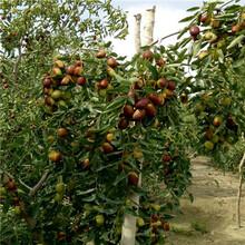 月牙棗棗樹苗價格是多少錢圖片
