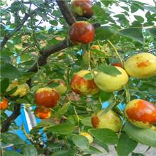 馬牙棗棗樹苗價格圖片