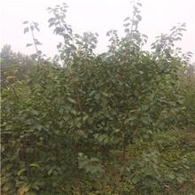 兩年生的豐園紅杏苗哪里有賣的圖片