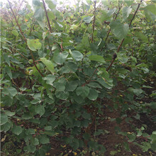 三公分金太陽杏樹苗價格圖片