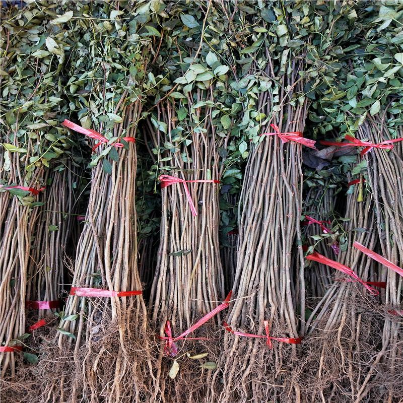 高度80公分的花椒小苗價格及報價