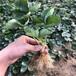 新品種草莓苗高產品種草莓苗脫毒種苗