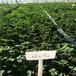 大棚草莓苗紅顏草莓苗種苗繁育