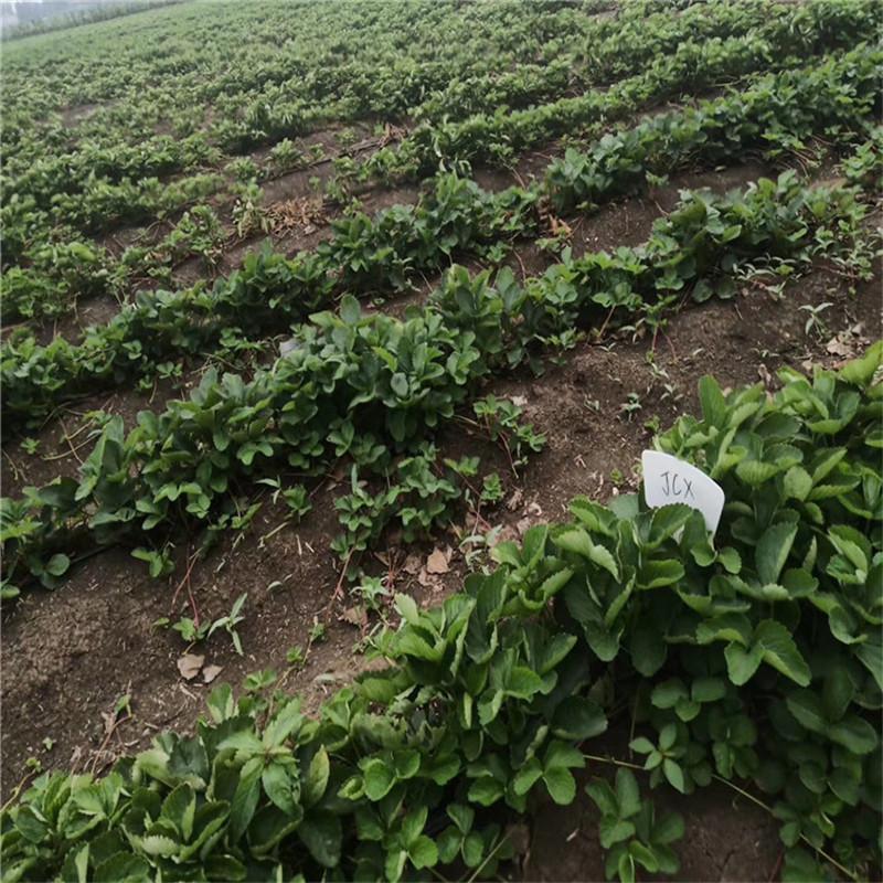 2021年山东草莓苗妙香草莓苗基地