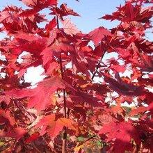 美国红枫施肥浇水知识图片