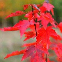 美国红枫扦插技术要点一定要保持空气的湿度图片