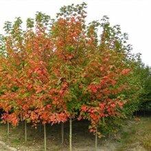 美国红枫育苗方法图片