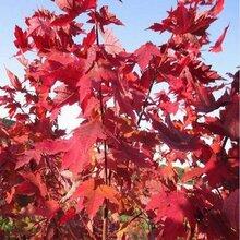美國紅楓扦插技術適宜的生根溫度很重要圖片
