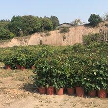 沐阳苗木种植基地大量供应观叶盆栽植物绿宝图片
