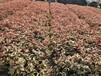 廣西苗木種植基地大量供應彩葉灌木苗紅背桂