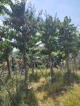 漳州基地直销供应精选绿化风景树大叶紫薇图片