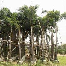 基地特价供应各种规格绿化树狐尾椰子图片