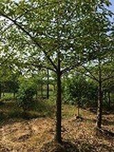 湖南基地特价供应18至20公分精品木木棉图片