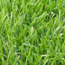 广州早熟禾种子,早熟禾种子供应商