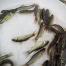 安顺丁桂鱼苗养殖技术图片