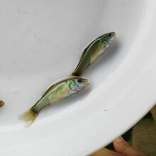 六盤水優質丁桂魚苗苗種現貨供應圖片