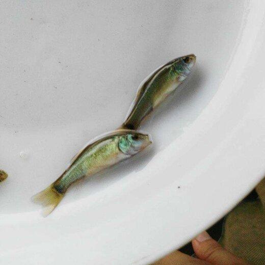 攀枝花丁桂魚苗訂購價格