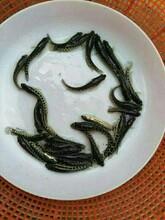 贵阳黑鱼苗价格实惠优质乌鱼苗图片