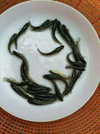 宜宾黑鱼苗出售