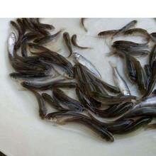 六盘水黑鱼苗品种介绍优质乌鱼苗图片