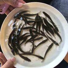 貴州優質黑魚苗供應優質烏魚苗圖片