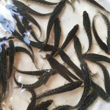重庆黑鱼苗订购价格优质乌鱼苗图片