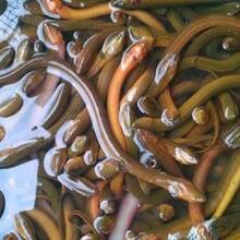 六盘水黄鳝苗存活率高图片