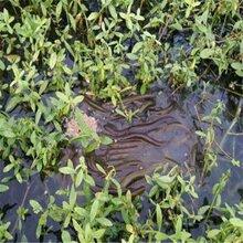 重慶黃鱔苗-養殖專業合作社圖片