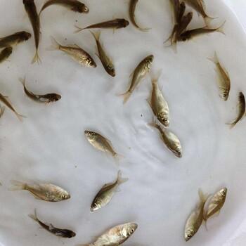 毕节鲤鱼苗-出售热线