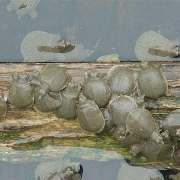 成都甲鱼苗养殖-繁殖场