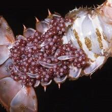 遵义小龙虾苗品种介绍现货供应图片